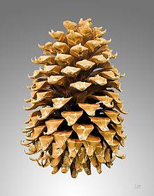 pine.cone